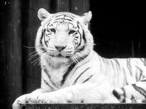 新西伯利亚纵向老虎白色动物园 黑白图象 免版税库存照片