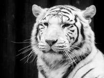 新西伯利亚纵向老虎白色动物园 黑白图象 免版税库存图片