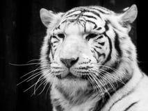 新西伯利亚纵向老虎白色动物园 黑白图象 库存照片