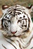 新西伯利亚纵向老虎白色动物园 免版税库存照片