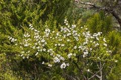 新西兰与微小的白花的manuka灌木 免版税库存图片