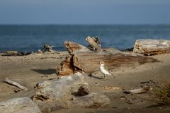 新西兰北愚蠢海鸟Tuturiwhatu Pukunui在它的河口连接点的自然生态环境与含沙海洋海滩 免版税库存图片