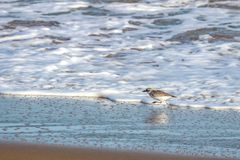 新西兰北愚蠢海鸟Tuturiwhatu Pukunui在它的河口连接点的自然生态环境与含沙海洋海滩 库存图片