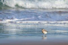 新西兰北愚蠢海鸟Tuturiwhatu Pukunui在它的河口连接点的自然生态环境与含沙海洋海滩 免版税图库摄影