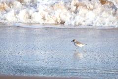新西兰北愚蠢海鸟Tuturiwhatu Pukunui在它的河口连接点的自然生态环境与含沙海洋海滩 免版税库存照片
