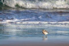 新西兰北愚蠢海鸟Tuturiwhatu Pukunui在它的河口连接点的自然生态环境与含沙海洋海滩 库存照片