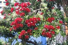 新西兰圣诞树在奥克兰B 库存照片