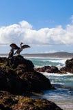 新西兰在岩石的国王粗毛 免版税库存照片