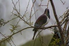 新西兰在树枝的鸽子kereru 图库摄影