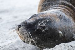 新西兰在海滩的海狮在奥塔哥地区半岛的达尼丁附近 免版税图库摄影