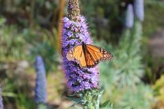 新西兰在淡紫色植物的黑脉金斑蝶 图库摄影