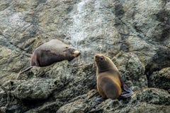 新西兰在Otago半岛的海狗 免版税库存图片