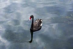 黑新西兰天鹅 库存图片