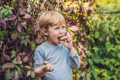 新西兰异乎寻常的食物 莓果nergi或者小猕猴桃 采摘绿色婴孩猕猴桃猕猴桃arguta的孩子 库存照片