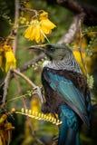 新西兰当地歌手吮花蜜的当地kowhai树的图伊从明亮的黄色春天花 免版税库存图片