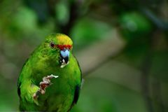 新西兰当地长尾小鹦鹉/kakariki鹦鹉的照片的关闭 这是在莓果,种子哺养的一只美丽的森林鸟 图库摄影