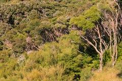新西兰当地manuka树森林 库存照片