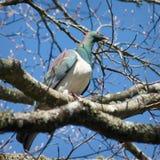 新西兰斑尾林鸽 库存照片