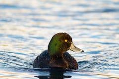 新西兰斑背潜鸭游泳在池塘 免版税库存图片