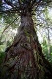新西兰杉木 免版税库存照片