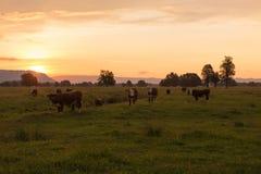 新西兰构筑的母牛有美好的日落背景 库存图片