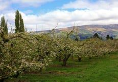 新西兰果树园 免版税库存照片