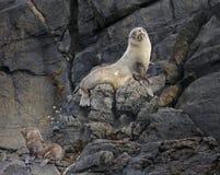 新西兰海狗和小狗Arctocephalus forsteri 库存照片