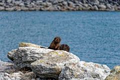新西兰海狗在港口墙壁上的有些岩石取暖 免版税图库摄影