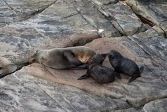 新西兰海狗,Arctocephalus forsteri,有它的小小狗的长颚的海狗 r 免版税库存图片