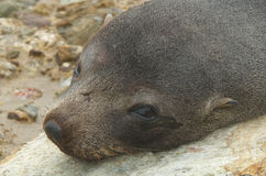 新西兰海狗头 免版税库存照片
