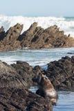 新西兰海狗arctocehalus forsteri 库存图片