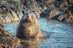 新西兰海狗arctocehalus forsteri 免版税图库摄影