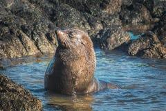 新西兰海狗arctocehalus forsteri 免版税库存图片