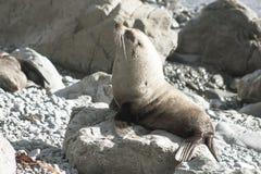 新西兰海狗arctocephalus forsteri 免版税库存照片