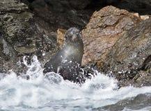 新西兰海狗Ardtocephalus forsteri 库存照片
