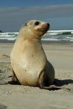 新西兰海狮小狗 库存图片