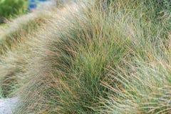 新西兰海滩草 免版税库存图片