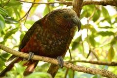 新西兰独特的地方性鹦鹉卡卡 免版税库存照片