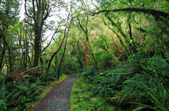 新西兰的温和雨林 免版税库存照片