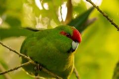 新西兰红色被加冠的绿色长尾小鹦鹉Kakariki关闭  免版税库存图片