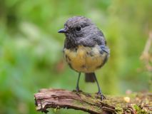 新西兰罗宾在自然森林里 库存照片