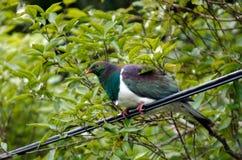 新西兰鸽子 图库摄影