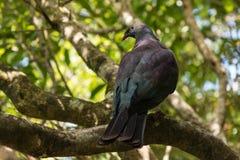 新西兰鸽子 库存照片