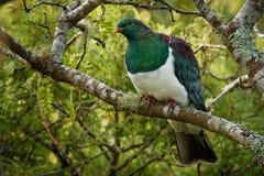 新西兰鸽子- Hemiphaga novaeseelandiae -坐和哺养在树的kereru在新西兰 库存照片