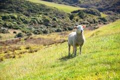 新西兰绵羊 免版税库存图片
