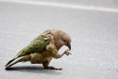 新西兰Kea哺养 免版税库存图片