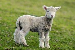 新西兰Perendale绵羊 免版税图库摄影