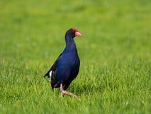 新西兰Pukeko,紫色swamphen 库存照片