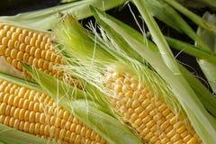 新近地健康被收获的玉米关闭  库存图片