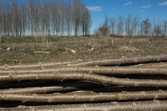 新近地剪切日志被堆的结构树 免版税库存照片